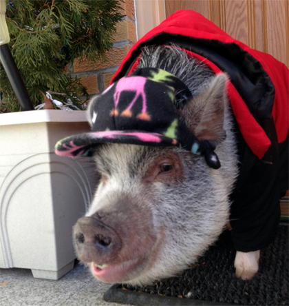 Wilbur the pig (credit: Alex Silverman / WCBS 880)